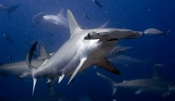 Scalloped Hammerhead off Darwin, Galapagos. Nikkor 12-24mm by Chris Wildblood