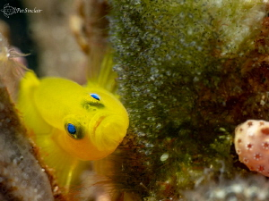 Taken in Anilao, at the dive site called Coconuts.  A yel... by Patricia Sinclair