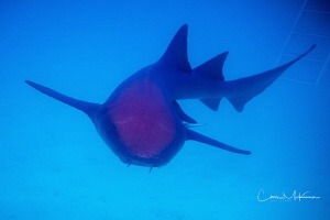 A Nurse Shark on the prowl. by Chris Mckenna