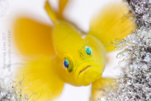 Lubricogobius exiguus - Yellow Pygmy Goby by Wayne Jones