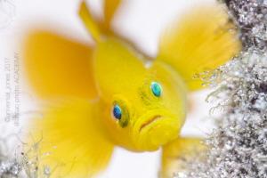Lubricogobius exiguus - Yellow Pygmy Goby by Wayne Jones