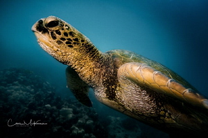 Image of a Hawaiian Sea Turtle we had the good fortune to... by Chris Mckenna