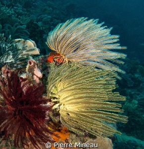 Colours of crinoids. There are probably more than 500 rec... by Pierre Mineau