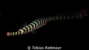Banded Pipefish with eggs, Kalimaya House Reef, Sumbawa by Tobias Reitmayr