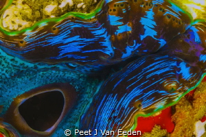 The siphon of a giant sea clam by Peet J Van Eeden