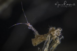 Tiny little devil (Skeleton Shrimp) by Mario Robillard