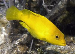 Coneys are common in the Cayman Islands, but the Golden v... by Jim Chambers