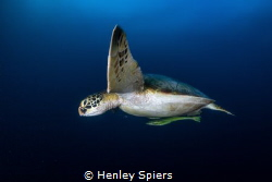 Turtle Says Hi by Henley Spiers