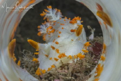 The Sea Clown Nudibranch (Triopha catalinae) is one of th... by Mario Robillard