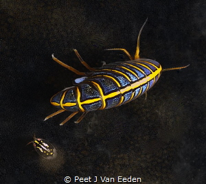 Hunchback Amphipod and friend by Peet J Van Eeden