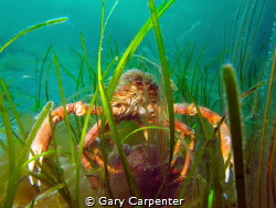 Mating pair of Common spider crab (Maja brachydactyla) by Gary Carpenter