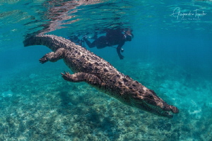 Cocodrile with snorkel, Gardens of the Queen Cuba by Alejandro Topete