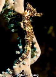 Sea horse in Little cayman by John Loving