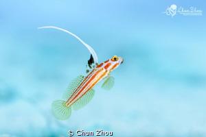 Flying Yasha Gobby by Chun Zhou