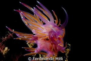 Flabellina affinis by Ferdinando Meli