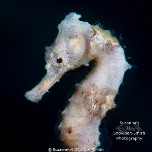 """Delicate Seahorse"" - A white seahorse free-swims between... by Susannah H. Snowden-Smith"