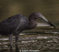 A little blue heron harvesting a crayfish in the San Anto... by Robert Michaelson