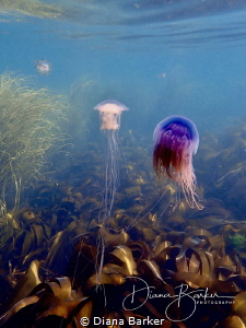 Jellyfish near Portland Bill, Dorset, UK by Diana Barker
