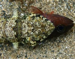 Lizardfish Attack. Taken on Oahu's North Shore- four feet... by Mathew Cook