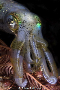 Reef Squid on night dive, Kalimaya Reef, Sumbawa by Tobias Reitmayr