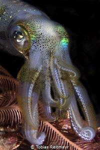 Reef Squid on night dive, Kalimaya Reef, Sumbawa by Tobias Reitmayr