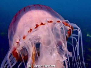 Compass Jellyfish off Portland Bill in Dorset, UK by Diana Barker