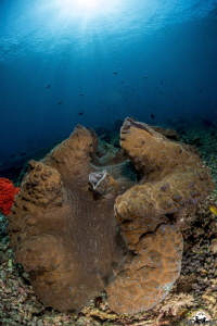 giant tridacne in Raja Ampat by Raffaele Livornese