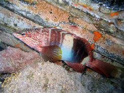 """This fish is aptly named """"Painted Comber"""" it looks like s... by Brian Mayes"""