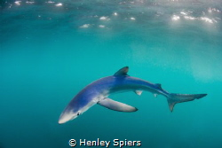 Blue Shark Invasion by Henley Spiers