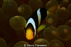 Clown fish hide and seek, with Nikon 1 camera and Nikon s... by Danny Franssens