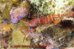 Red Night Shrimp. Full frame. D100 and 105 lens. Night di... by Patrick Reardon