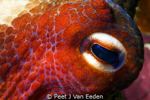 Reflection of the diver in the eye of an octopus by Peet J Van Eeden