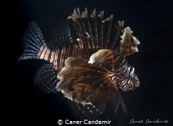 Lionfish on black background by Caner Candemir