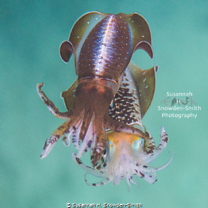 """""""Two To Tango"""" - Mating Squid! From what I've read, this ... by Susannah H. Snowden-Smith"""