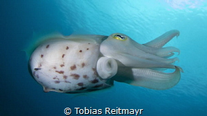 Cuttlefish on Gili Banta by Tobias Reitmayr