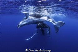 Swimming with a mother humpback and her calf in the blue ... by Dan Westerkamp