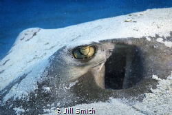 This Southern stingray had just settled in the sand.  I t... by Jill Smith