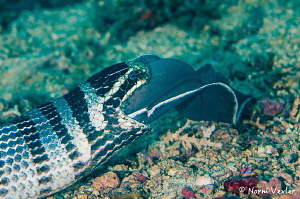 A Banded Sea Snake eating a Moray Eel!  Photographed in A... by Norm Vexler