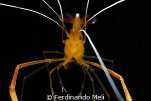 Mechanical shrimp by Ferdinando Meli