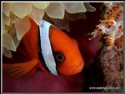 These Bridled clown fish can bite, just look at those teeth. by Yves Antoniazzo