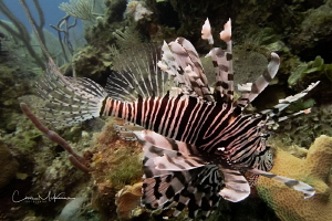 Lion Fish near the wreck of the Austin Smith by Chris Mckenna