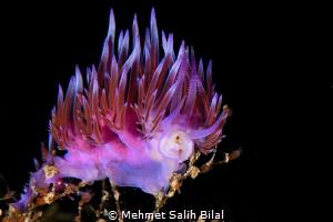Flabellina affinis. by Mehmet Salih Bilal