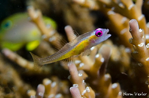 A Pinkeye Goby photographed in Anilao, Philippines by Norm Vexler