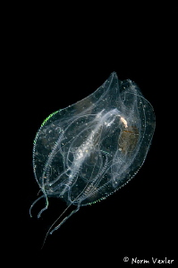 Ctenophere photographed on a Blackwater dive in Anilao. by Norm Vexler