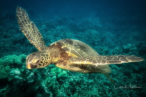 Turtle over reef near Puako Beach by Chris Mckenna