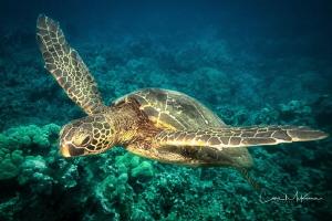 Turtle over reef near Puako Beach by Chris Mckenna