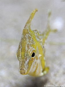 Juvenile Filefish by Iyad Suleyman