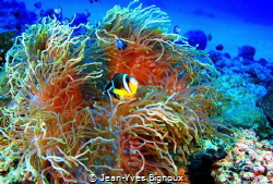 The usual suspects Anemone and Clownfish.