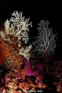 Underwater trees (EUNICELLA VERRUCOSA) by Ferdinando Meli