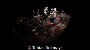 Scorpionfish at night by Tobias Reitmayr